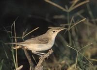 Eastern Olivaceous Warbler (Hippolais pallida) photo