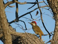 Golden-tailed Woodpecker - Campethera abingoni