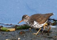Spotted Sandpiper May 06