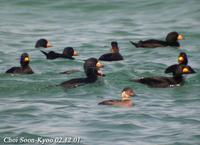 Melanitta nigra 검둥오리 Black Scoter (common Scoter)