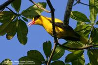 Black-naped Oriole Scientific name - Oriolus chinensis