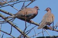 Senegal Dove Streptopelia senegalensis