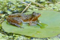 : Acris gryllus gryllus; Coastal Plain Cricket Frog