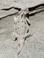 : Phrynosoma mcallii; Flat-tailed Horned Lizard