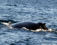 Humpback Whale. 1 October 2006. Photo by Jay Gilliam