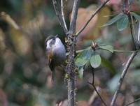 ノドジロチメドリ White-browed Fulvetta Alcippe vinipectus