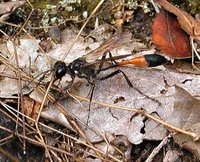 Ammophila sabulosa - Red-banded Sand Wasp