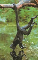 photograph of a spider monkey Ateles fusciceps