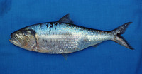 Ethmidium maculatum, Pacific menhaden: fisheries
