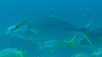Seriola carpenteri, Guinean amberjack: fisheries, gamefish