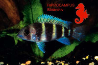 Cyphotilapia frontosa, Humphead cichlid: fisheries, aquarium