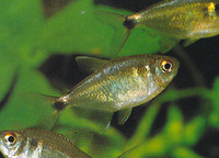 Hemigrammus ocellifer, Head-and-taillight tetra: aquarium
