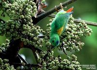Blue-crowned Hanging Parrot - Loriculus galgulus