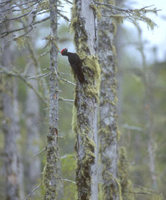 Black Woodpecker (Dryocopus martius) photo