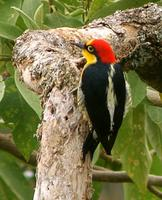 Yellow-fronted Woodpecker in Itatiaia NP.