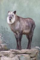 Capricornis Crispus, the Japanese Serow or Japanese Goat-Antelope