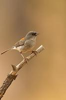 Dark Eyed Junco ( Junco hyemalis ) , Gila National Forest , New Mexico stock photo