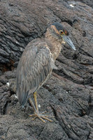 : Nycticorax violaceus pauper; Yellow crowned night heron