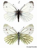 Pieris bryoniae - Mountain Green-veined White