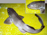 Heteroscyllium colcloughi, Bluegray carpetshark: fisheries