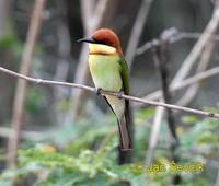 Merops leschenaulti - Chestnut-headed Bee-eater