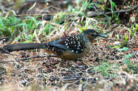 Image of: Garrulax maximus (giant laughingthrush)