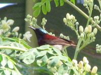 Crimson-backed Sunbird - Leptocoma minima