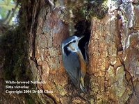 White-browed Nuthatch - Sitta victoriae