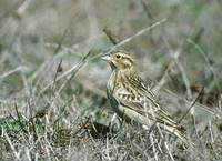 Chestnut-collared Longspur (Calcarius ornatus) photo