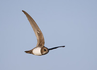 Alpine Swift (Apus melba) photo
