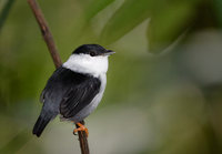 White-bearded Manakin (Manacus manacus) photo