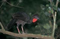 Crested Guan (Penelope purpurascens) photo