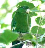Blue-bellied Parrot - Triclaria malachitacea