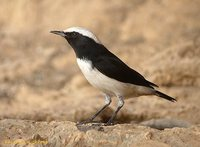 Mourning Wheatear - Oenanthe lugens
