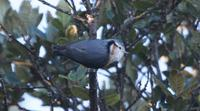 ...White-browed Nuthatch, Mount Victoria, Burma                            ©  Rob Hutchinson / Bird