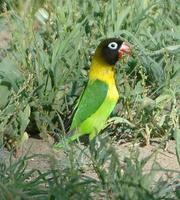 Yellow-collared Lovebird p.180