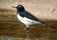 Fig. 10. Japanese Wagtail : 검은등할미새