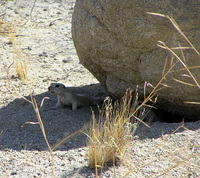 : Spermophilus tereticaudus chlorus; Palm Springs Round-tailed Ground Squirrel