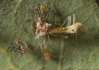 : Zelus sp.; Assassin Bug