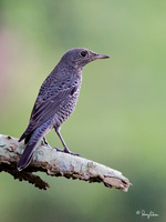 Blue Rock-Thrush (female) Scientific name - Monticola solitarius
