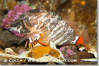 ...Image 13729, Grunt sculpin.  Grunt sculpin have evolved into its strange shape to fit within a g
