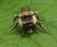 Bombus sylvarum - Shrill carder-bee