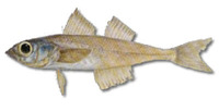 Normanichthys crockeri, Mote sculpin: