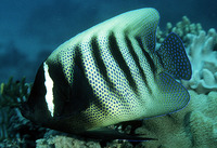 Pomacanthus sexstriatus, Sixbar angelfish: fisheries, aquarium