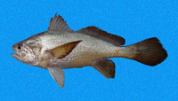 Stellifer oscitans, Yawning stardrum: fisheries