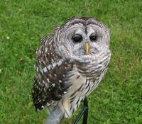 Image of: Strix varia (barred owl)