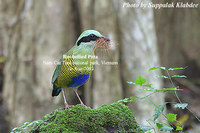 Bar-bellied Pitta - Pitta elliotii