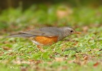 Grey-backed Thrush - Turdus hortulorum