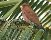 Broad-billed Roller - Eurystomus glaucurus