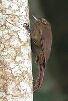 Wedge-billed Woodcreeper - Glyphorynchus spirurus